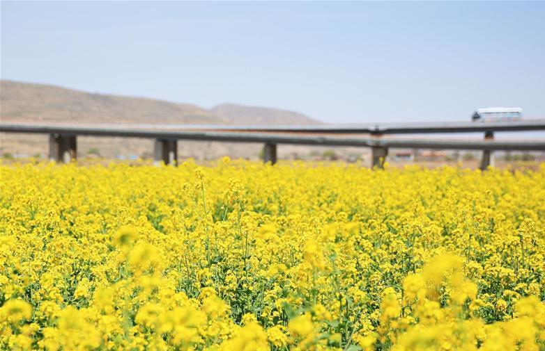 #(春季美丽生态)(1)甘肃定西:油菜花开美如画