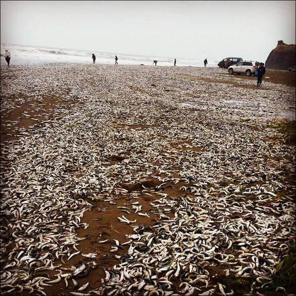 俄羅斯降溫:數萬尾魚被凍僵衝上岸